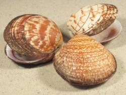 Glycymeris glycymeris FR-Atlantik 4,5+cm