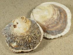 Ostrea edulis DK 6+cm aus der Nordsee