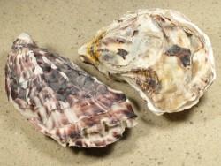 Muschel Crassostrea gigas FR-Ärmelkanal 6+cm