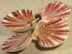 Minnivola pyxidata PH 4+cm