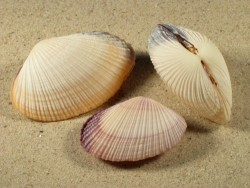Asaphis violascens 5+cm