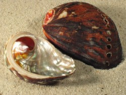 Abalone-Art Haliotis spadicea ZA 5+cm
