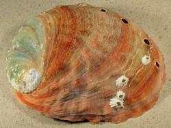 Haliotis rufescens MX 19,2cm *Unikat*
