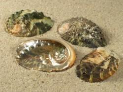 Abalone-Art Haliotis planata 2,5+cm