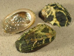 Abalone-Art Haliotis varia grün 4+cm