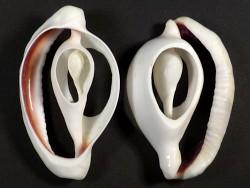 Ovula ovum Gehäuseschnitt ~6,5cm