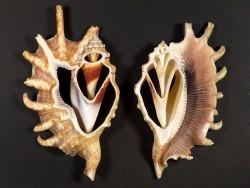 Lambis millepeda Gehäuseschnitt