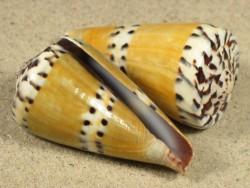 Conus mustelinus 5,5+cm