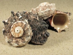 Angaria delphinus 5+cm