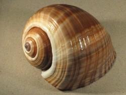 Tonna ampullacea 20+cm groß