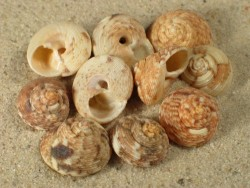 Monilea belcheri 1,4+cm (x3)