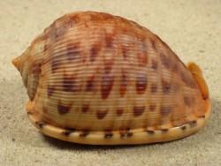 Cypraecassis testiculus 5,3+cm