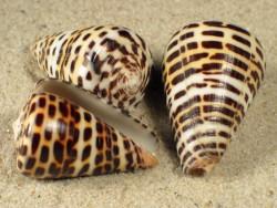 Conus eburneus polyglottus 3+cm