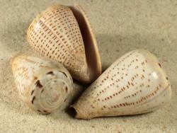 Conus glaucus PH 3,5+cm
