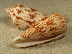Conus australis PH 5,5+cm