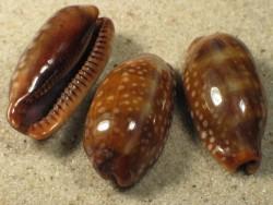 Cypraea cervinetta 3,3+cm