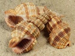 Phos senticosus 3,5+cm