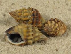 Nassarius nigrus 1+cm