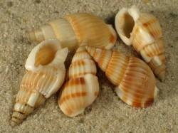 Nassarius variciferus 1,8+cm