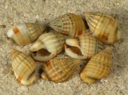 Nassarius celebensis 0,7+cm