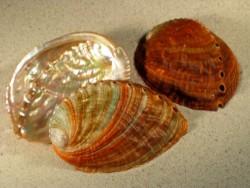 Abalone-Art Haliotis gigantea 07,5+cm
