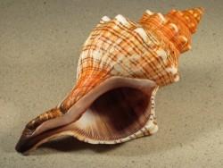Pleuroploca trapezium 17,5+cm