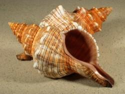 Pleuroploca trapezium 16+cm