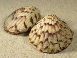 Tucetona pectunculus 3,5+cm