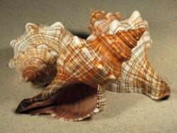Pleuroploca trapezium 14,5+cm