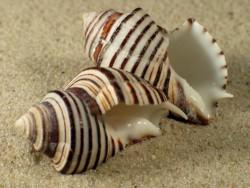 Opeatostoma pseudodon PA 3,5+cm