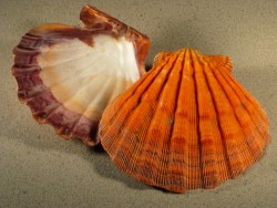 Lyropecten subnodosus orange 1/2 13+cm