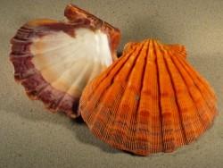 Lyropecten subnodosus orange 1/2 13+cm