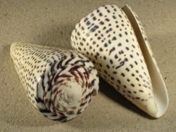 Conus leopardus 7+cm