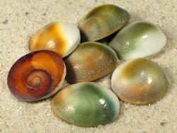 Turbo sparverius Operculum 1,5+cm