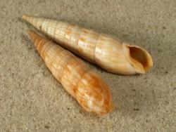 Perirhoe cerithina 4+cm