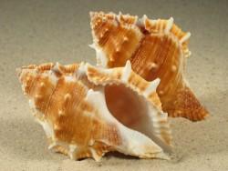 Bufonaria perelegans PH 7+cm