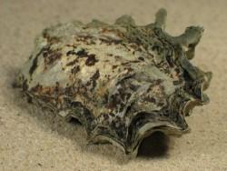 Ostrea capsa HR 3,5+cm aus dem Mittelmeer