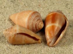 Conus mediterraneus HR 1,4+cm