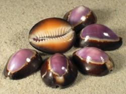 Cypraea caputserpentis violett 2,2+cm