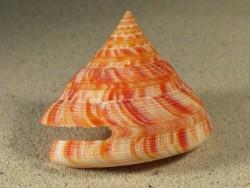 Mikadotrochus hirasei 5,4+cm