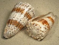 Conus imperialis PH 7+cm