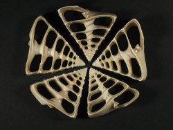 Tectus pyramis Gehäuseschnitt 5,5+cm