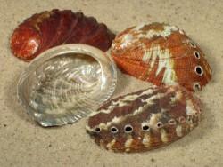 Abalone-Art Haliotis varia rot 4,5+cm