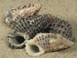 Clypeomorus bifasciatus PH 1,5+cm