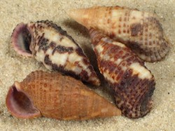 Clypeomorus purpurastoma PH 1,8+cm