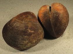 Glycymeris pilosa HR 7+cm