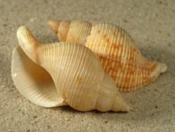 Siphonalia fusoides 4,5+cm