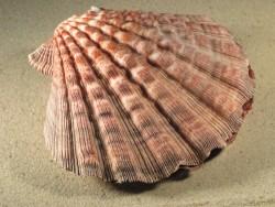 Lyropecten subnodosus 13,5+cm
