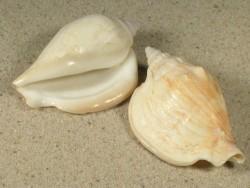 Labiostrombus epidromis 6+cm