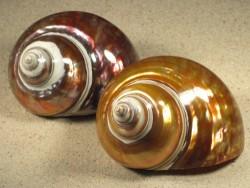 Turbo imperialis Kupfer-Perlmutt MG 09+cm